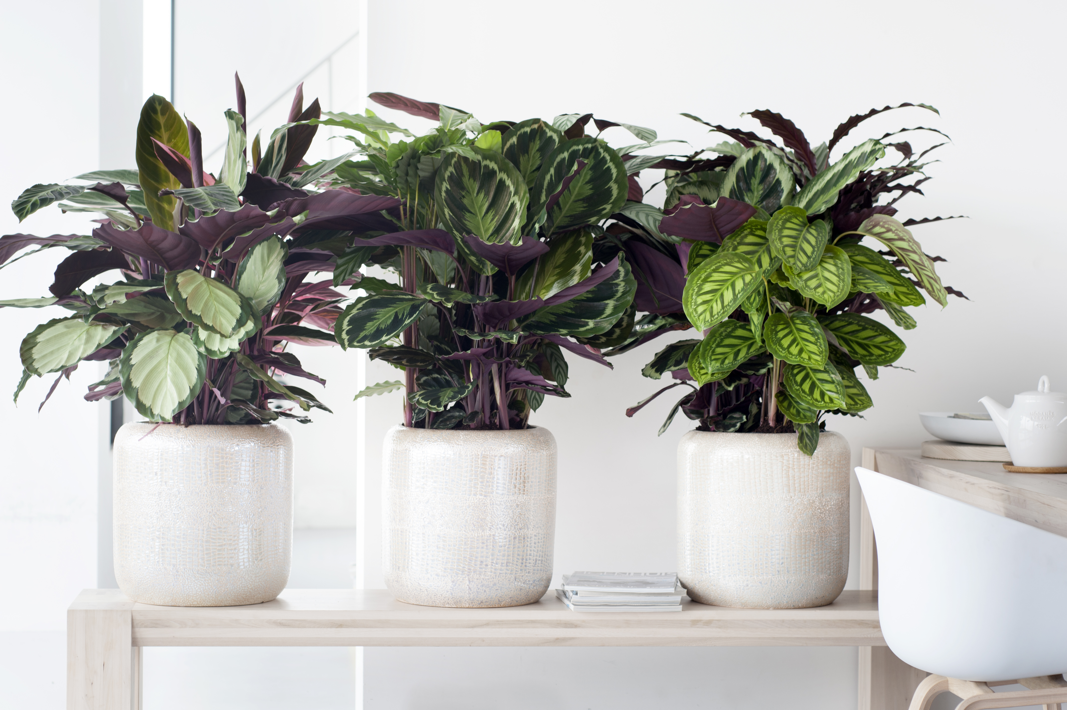 Image result for Calathea indoor