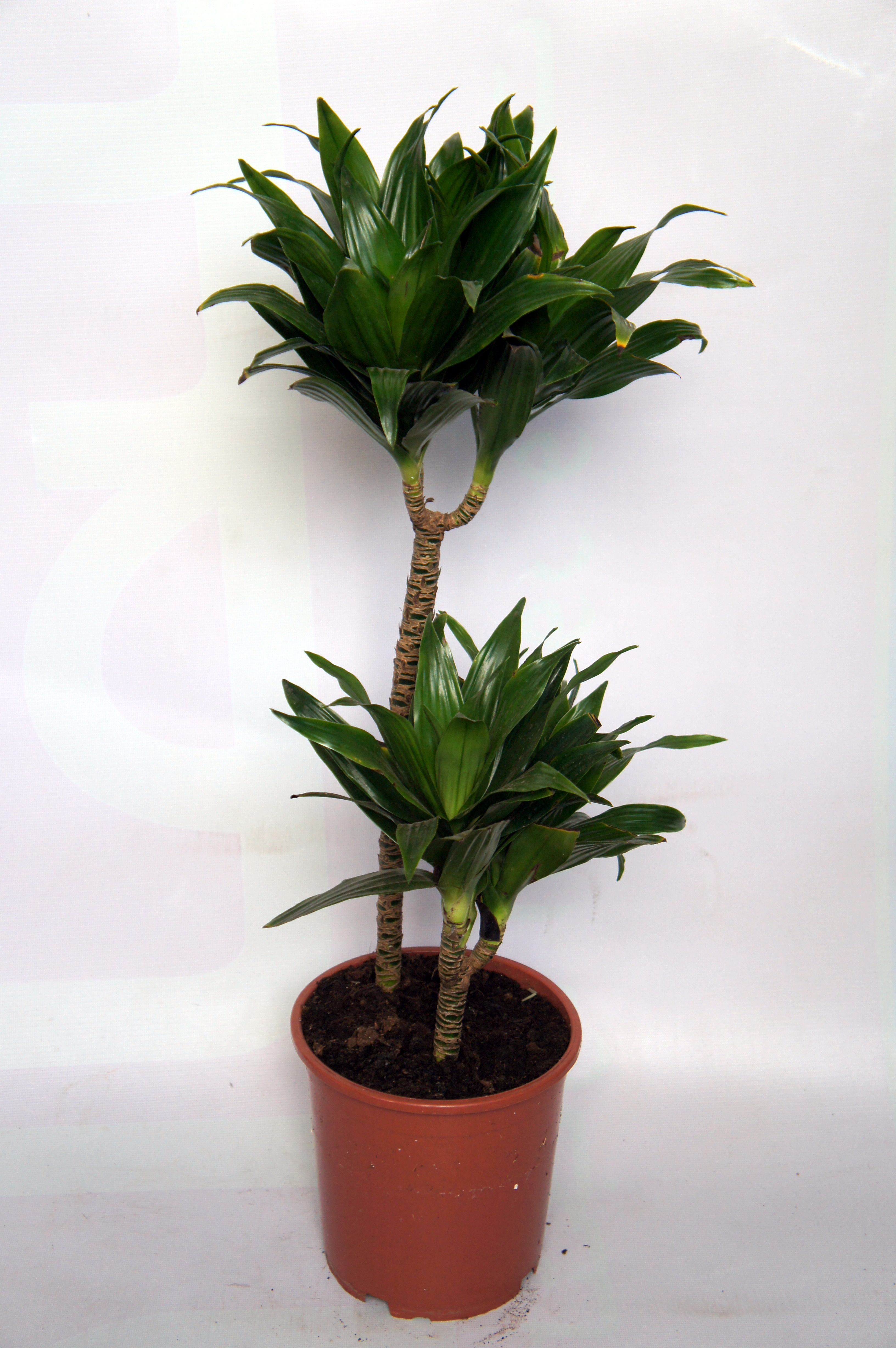 Green specialist page 2 for Plante dracaena