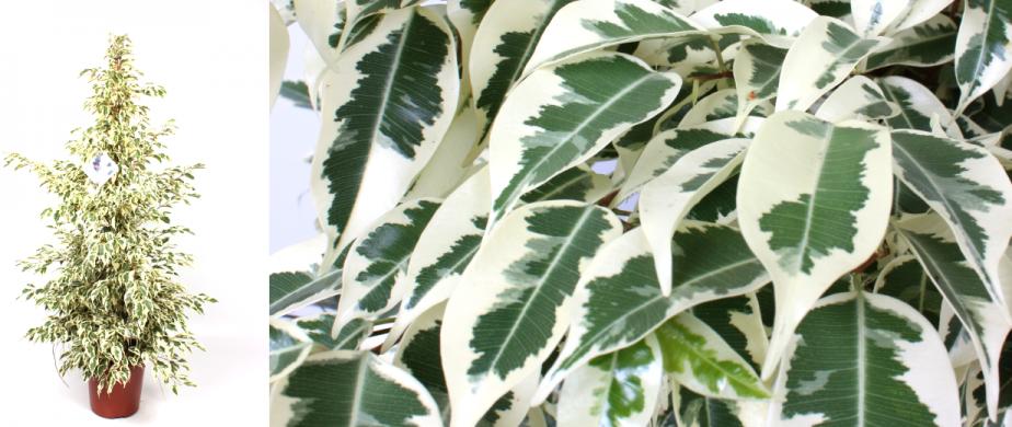 Ficus-Starlight1-924x390