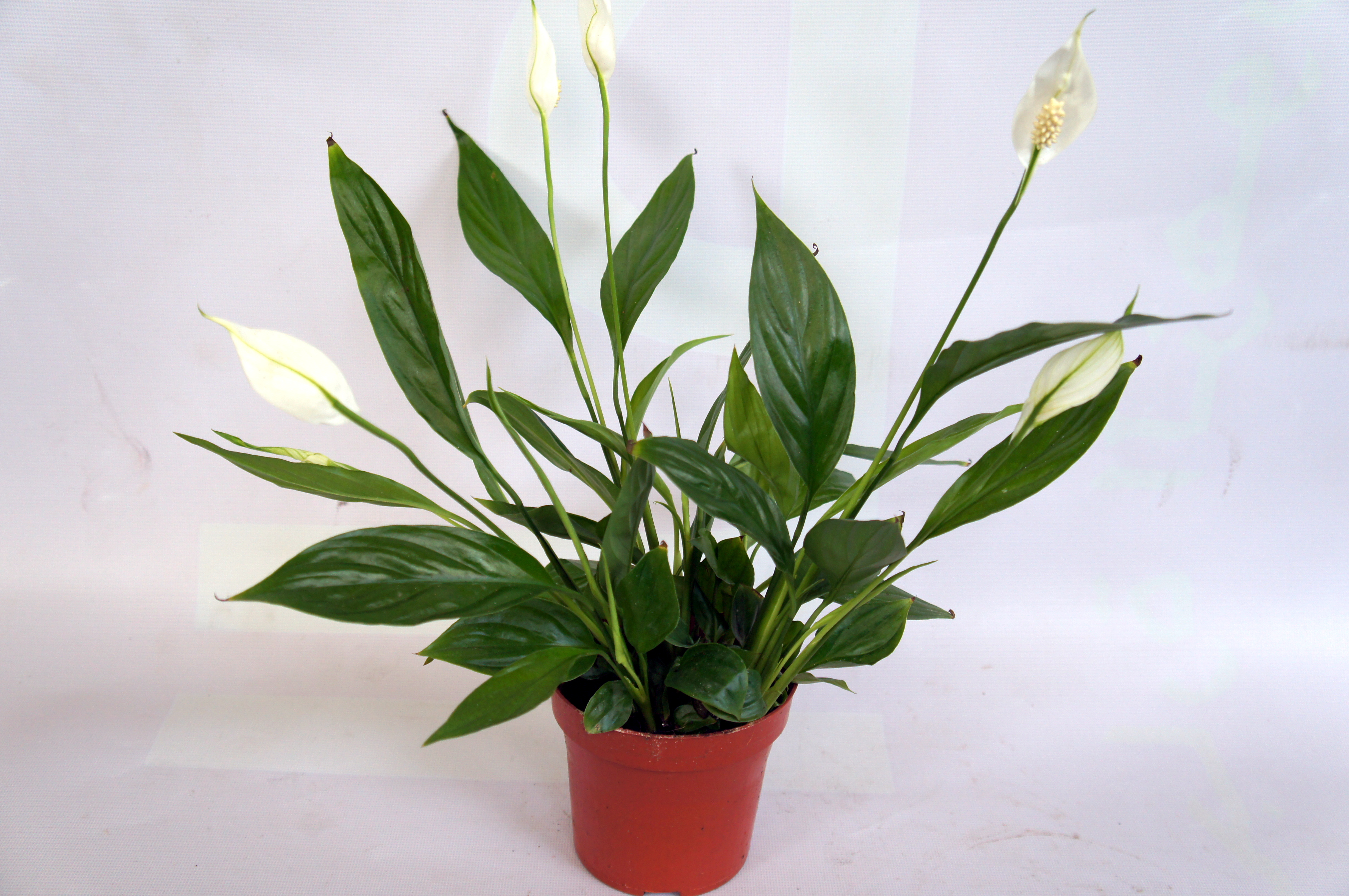 Peace Lilly Spathyphyllum Green Specialist